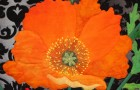 still life poppies closeup